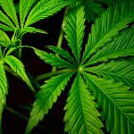 marijuana leaves what are cannabinoids