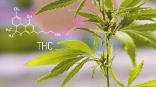 thc molecule and cannabis plant