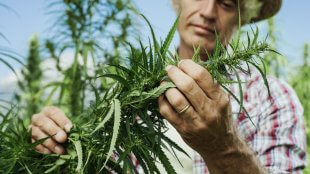 when should you harvest your marijuana crop
