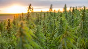 hemp plants in a field in sunrise