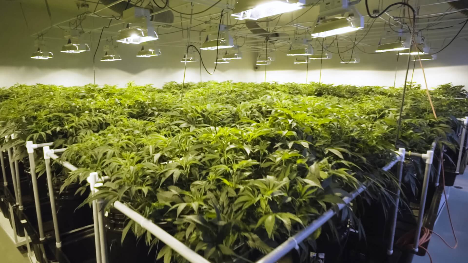 Cannabis plants growing in a hydroponic garden bed