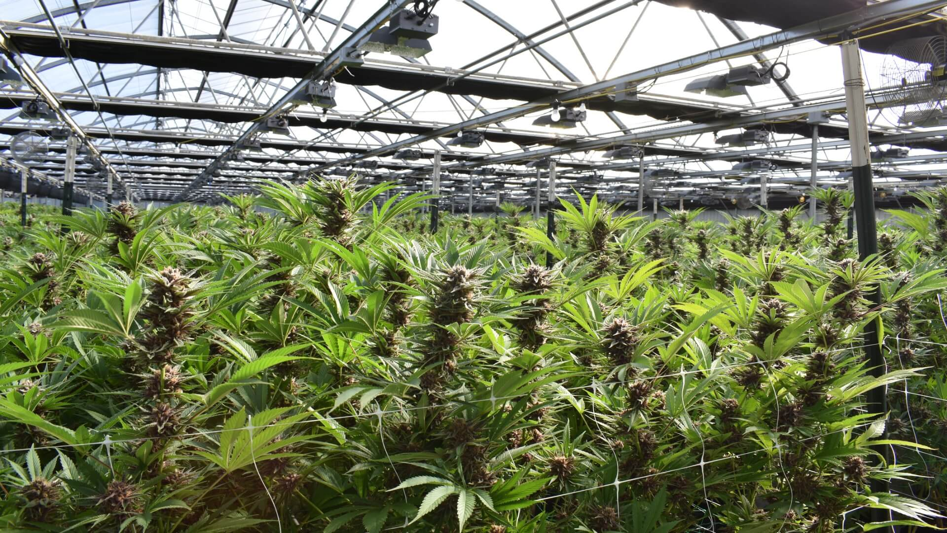 cannabis growing in a production facility