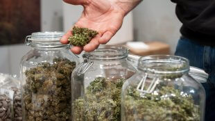 A glass jar full of cannabis sativa with a man's hand full of nugs