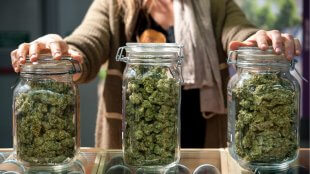 Three large glass jars full of cannabis sativa buds
