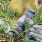 Cannabis female researcher in a hemp field checking plants.