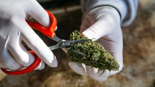 A man in gloves trimming cannabis bud