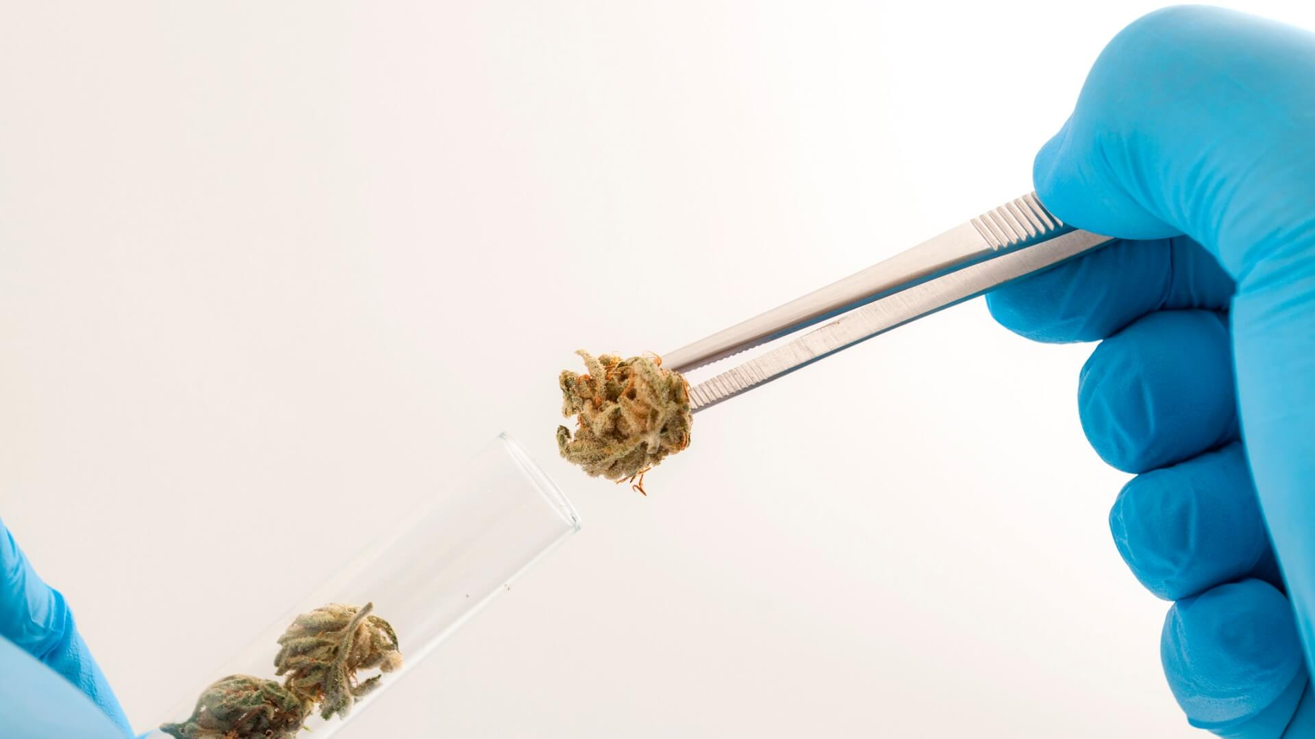 A researcher putting cannabis nugs into a test tube