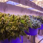 Cannabis growing in an indoor facility