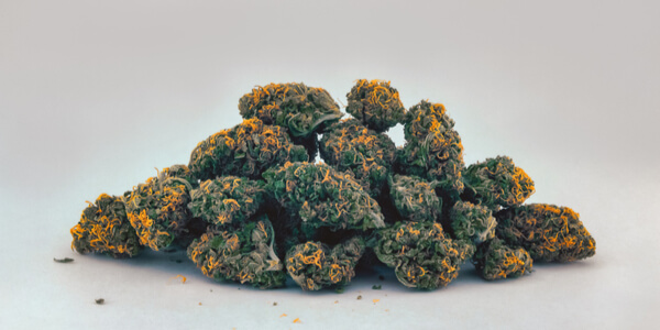 A pile of Cheese OG marijuana buds with bright orange hairs