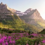 mountain ranges and pink flowers in Glacier National Park