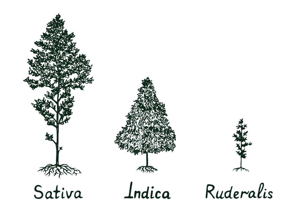difference between sativa, indica, and ruderalis plants