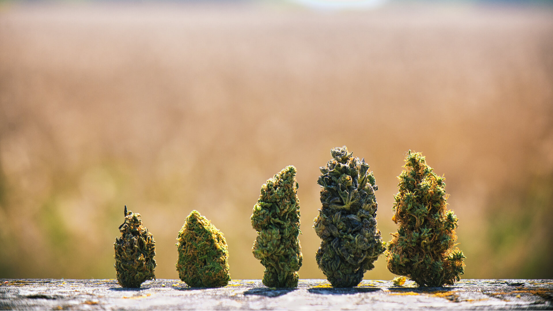 Detail of assored dried cannabis buds in a line over natural landscape