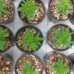 aerial view of potted cannabis plants