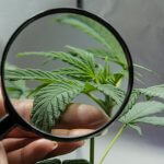 A person looks at medical marijuana plant with a magnifier