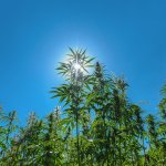 marijuana plants growing under the sun in the himalayan mountains