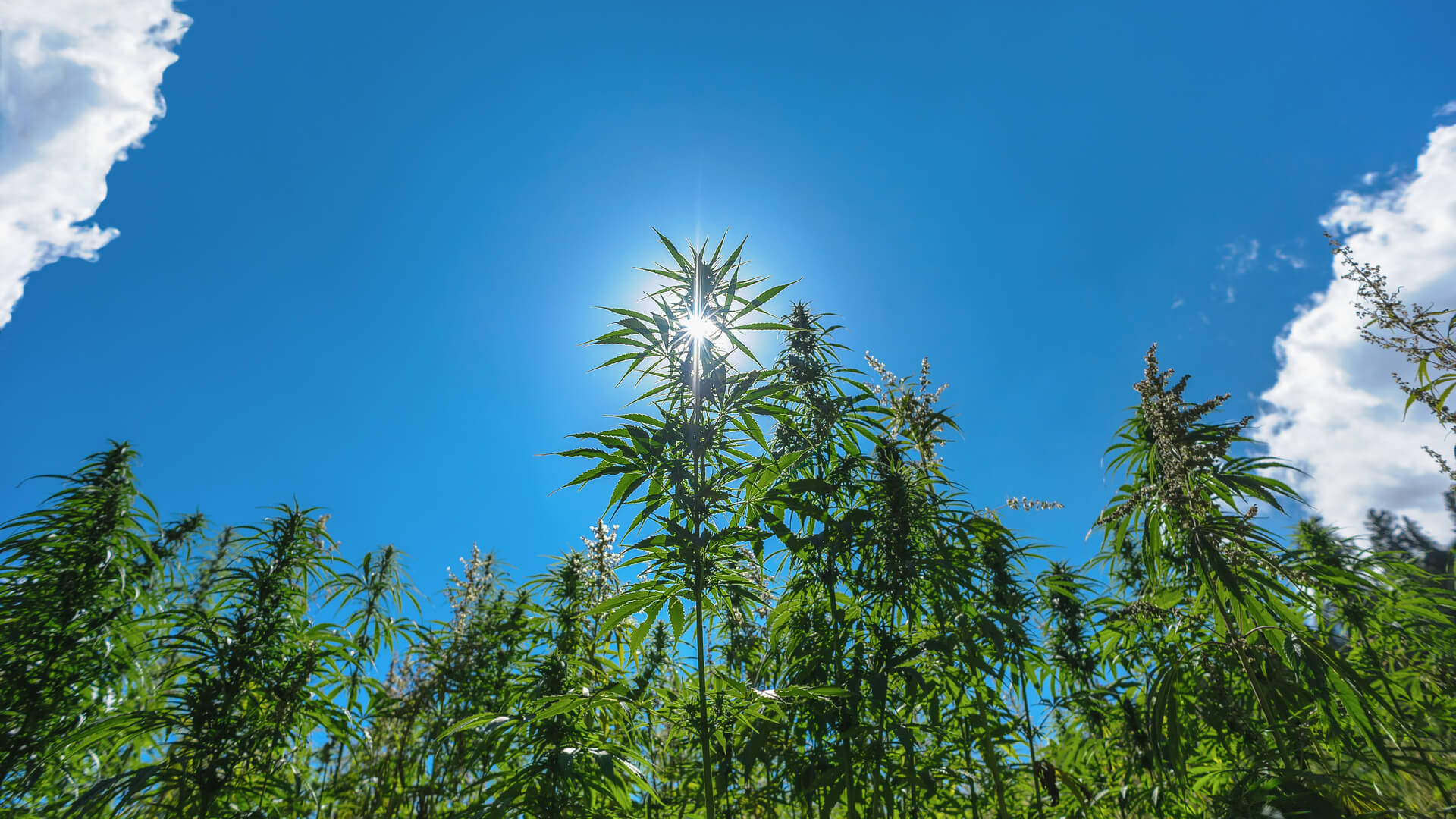 photo of The Strides Cannabis is Taking Towards Sustainability image