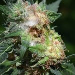 a closeup of a cannabis flower with bud rot